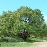 oaktree_lg